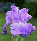 Blue, Lavender and Purple