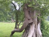 040514 Old Tree
