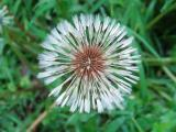 Dandelion A.jpg