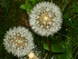 Dandelion B.jpg