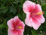 Hibiscus ~ Bonnie~