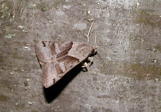 Forage Looper Moth (Caenurgina erechtea)