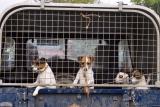 Hunting Terriers