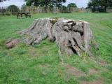 Penshurst - Tree Stump.jpg