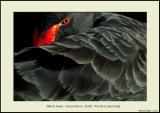 Black Swan 1 - Swan River
