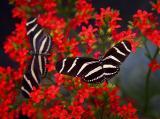 Zebra Butterflies 5463