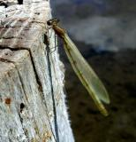 Damsel on a stump