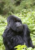 Gorilla scratching