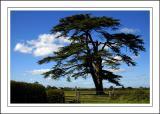 Cedar tree, Martock (2272)