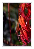 Martock ~ more red leaves