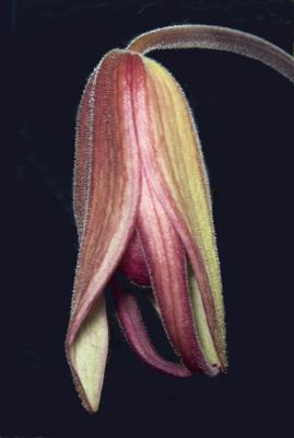 Phragmipedium schroderae Coos Bay AM/AOS
