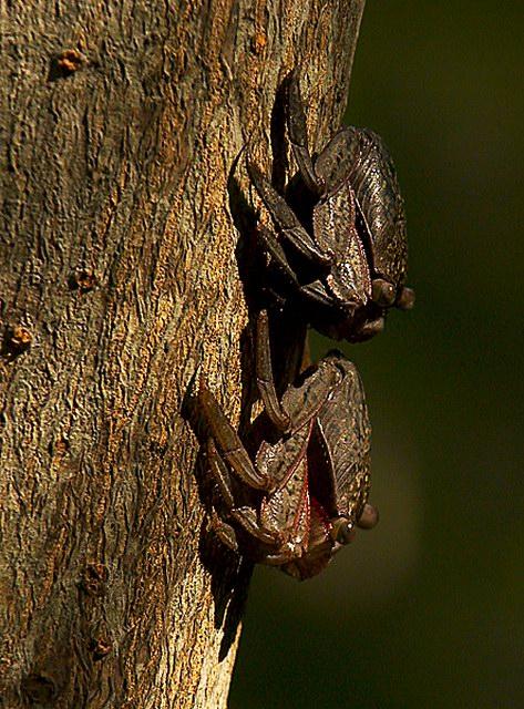 Red Mangrove Tree Crabs