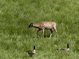 Baby Elk.jpg(299)