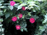 Roses 1.jpg(303)