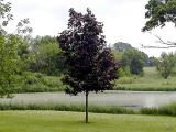 Young maple tree.jpg(608)