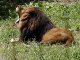 African Lion.jpg(611)
