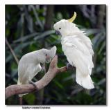 Sulphur-crested Cockatoo