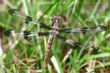 Twelve-Spotted Skimmer Female-Teneral