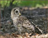 Barred Owl on ground