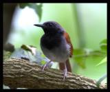 White-bellied Antbird / Hormiguero Pechiblanco
