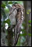 Common Potoo 1