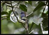 Uniform Antshrike / Batará Unicolor