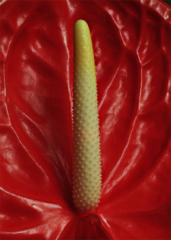 Anthuriums heart