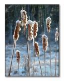 Snowy CattailsMerrimack, NH