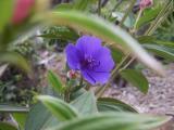 O'ola Beauty or Glory Bush