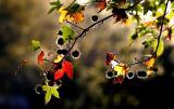 Liquidambar leaves in autumn