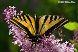 Tiger Swallow-tail1.jpg
