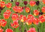 Tulips at Brooklyn Botanic Garden