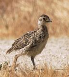 Ring-necked Pheasant, juvenile