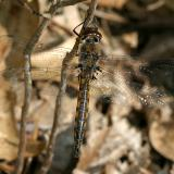 Common Baskettail - Epitheca cynosura (male)