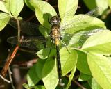 Red-waisted Whiteface - Leucorrhinia proxima