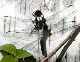Corporal Dragonflies