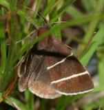8762 -- Four-lined Chocolate Moth -- Argyrostrotis quadrifilaris