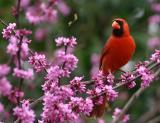 American Cardinal Male