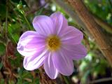 Flower - Quail Gardens, Encinitas