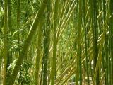 Bamboo - Quail Botanical Gardens, Encinitas