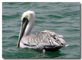 Pelican, Corona Del Mar
