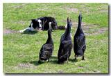 Border Collie hearding geese :-)