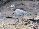 853 Great Blue Heron.jpg