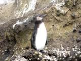 875 Galapagos Penguin.jpg
