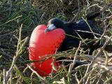 136 Male Frigate Bird.jpg