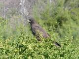 923 Galapagos Hawk.jpg