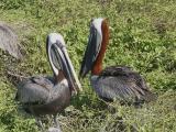 928 Brown Pelicans.jpg