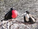 166 Frigate birds.jpg