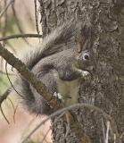 Abert's Squirrel.jpg