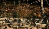 Fox in Dappled Light.jpg